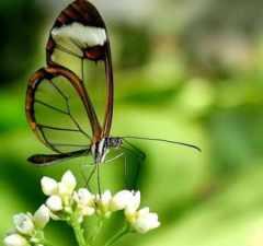 mariposas-transparentes-05
